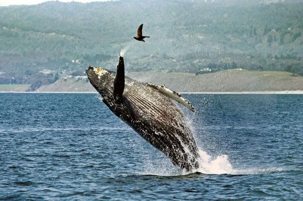 imagem salto de jubarte quase atinge gaivota