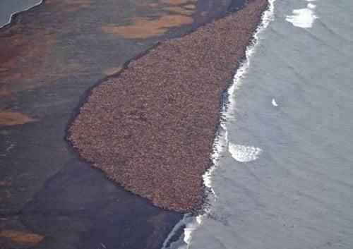 imagem morsas em praia do alasca