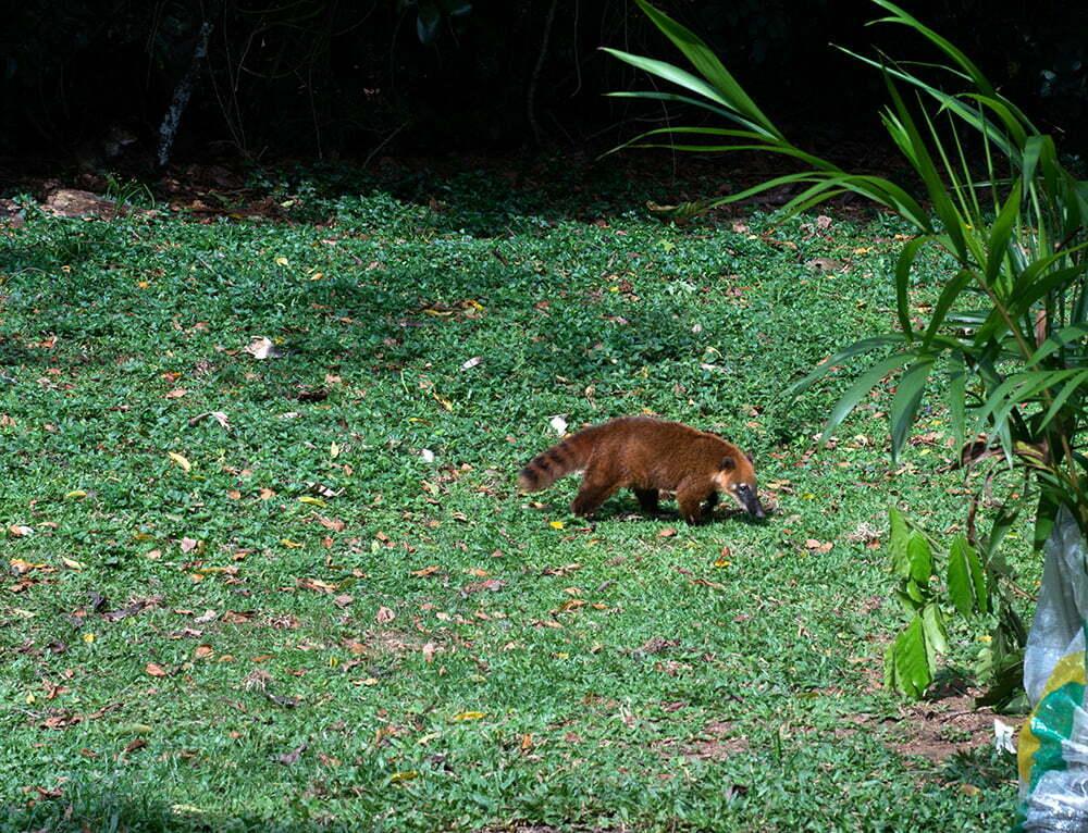Parques Estaduais Ilhabela e ilha Anchieta, imagem de o-quati-