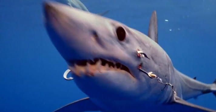 tubarão com dois anzóis , imagem tubarão com dois anzóis na boca
