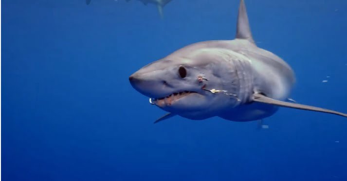 tubarão com dois anzóis, imagem tubarão com dois anzóis