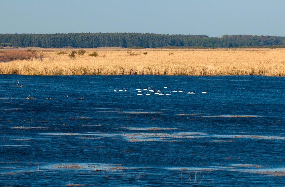imagem de cisnes de pescoço negro na Estação Ecológica do TAIM, RS