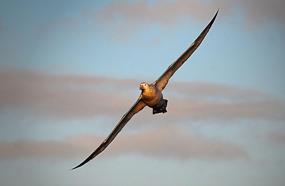 imagem de albatroz errante em voo
