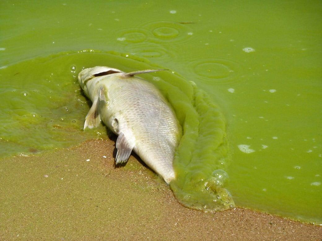 Lago tem água totalmente verde, imagem de peixe morto em lago contaminado