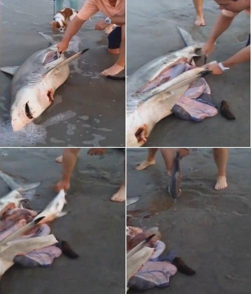 parto em tubarão morto