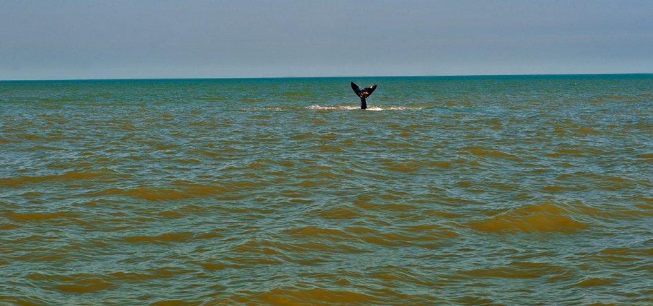 imagem de baleia franca na Área de Proteção Ambiental da Baleia Franca