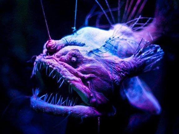 peixe-diabo-negro