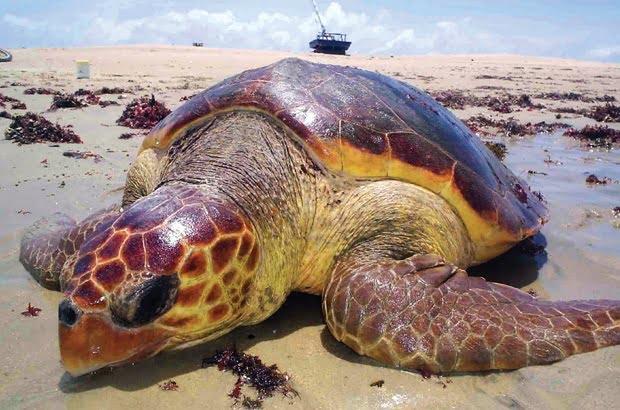 adote uma tartaruga marinha