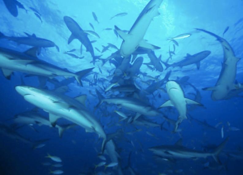 ICMBio aprova plano de proteção à predadores, imagem de cardume de tubarões