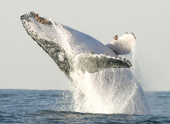 caça às baleias na Antártica, imagem de baleia saltando