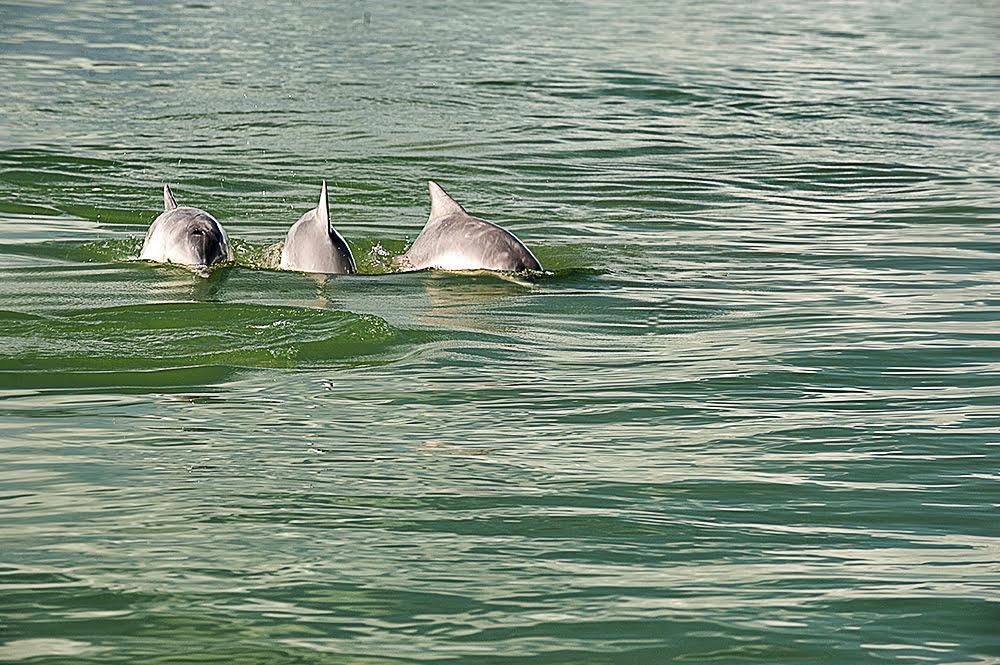 Unidades de Conservação de Florianópolis, imagem de botos- cinza
