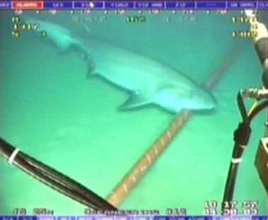 imagem de cabos submarinos da internet e tubarão