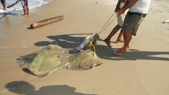 pesca arraia