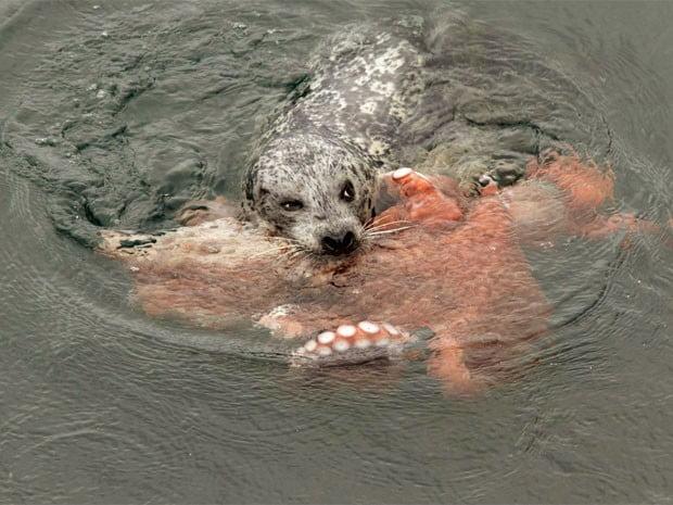 foca luta com polvo