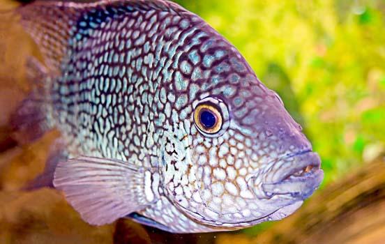 Escama de peixe cura ferimentos, imagem de peixe