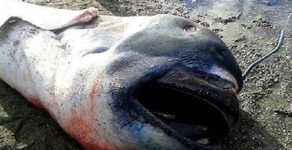 tubarão-boca-grande