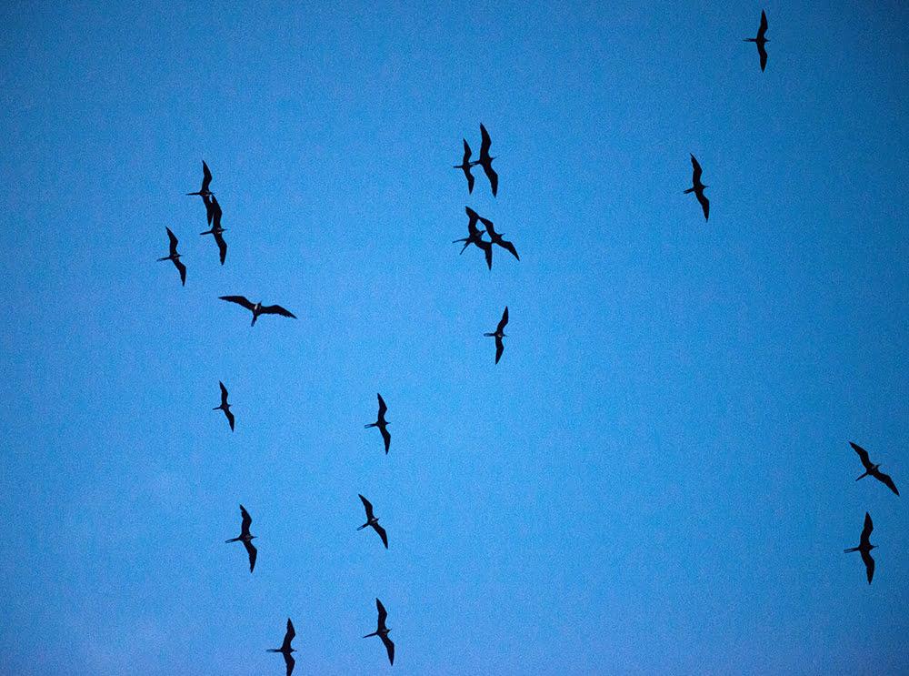 as-fragatas no Parque Nacional Marinho dos Abrolhos