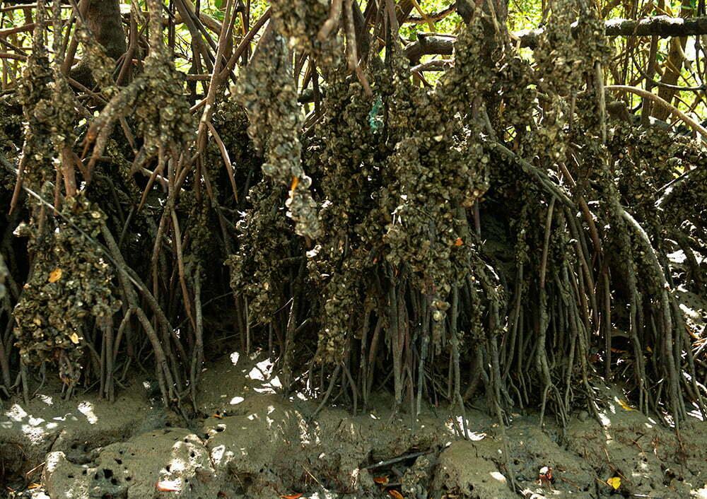 resex cassuruba, imagem de raízes de mangue