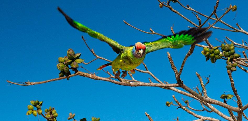 imagem de um papagaio de cara roxa no interior da Área de Proteção Ambiental de Cananéia
