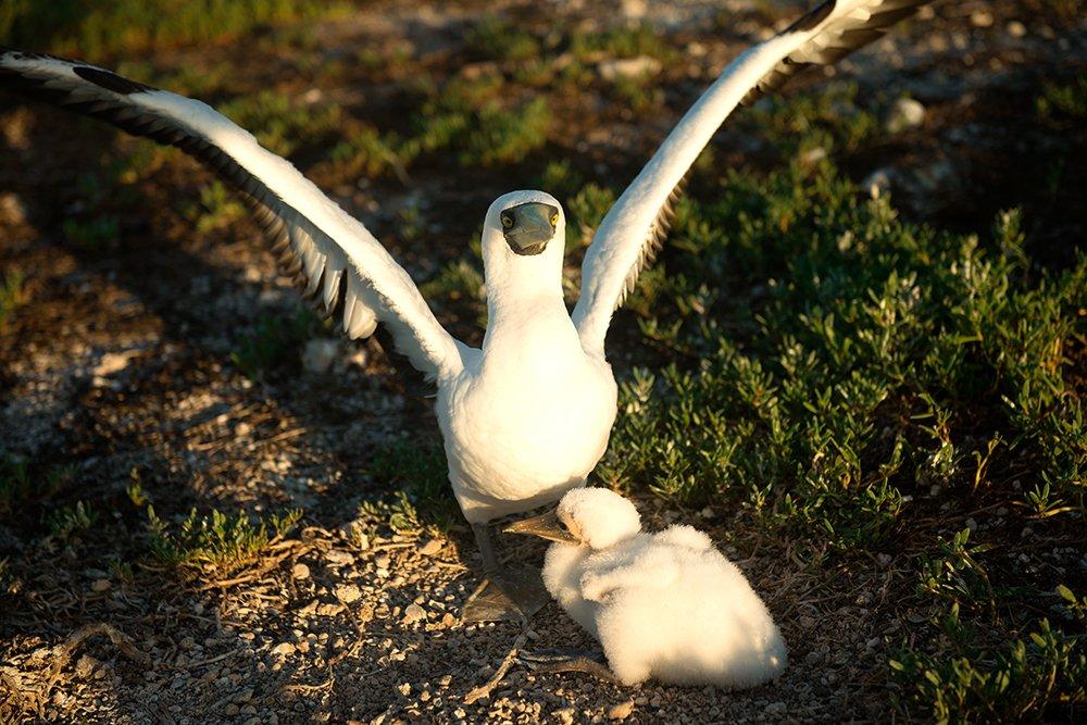 um-atoba-e-filhote-no Parque Nacional Marinho dos Abrolhos