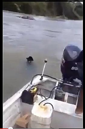 Onça morta a remadas, imagem de barco e onça na água