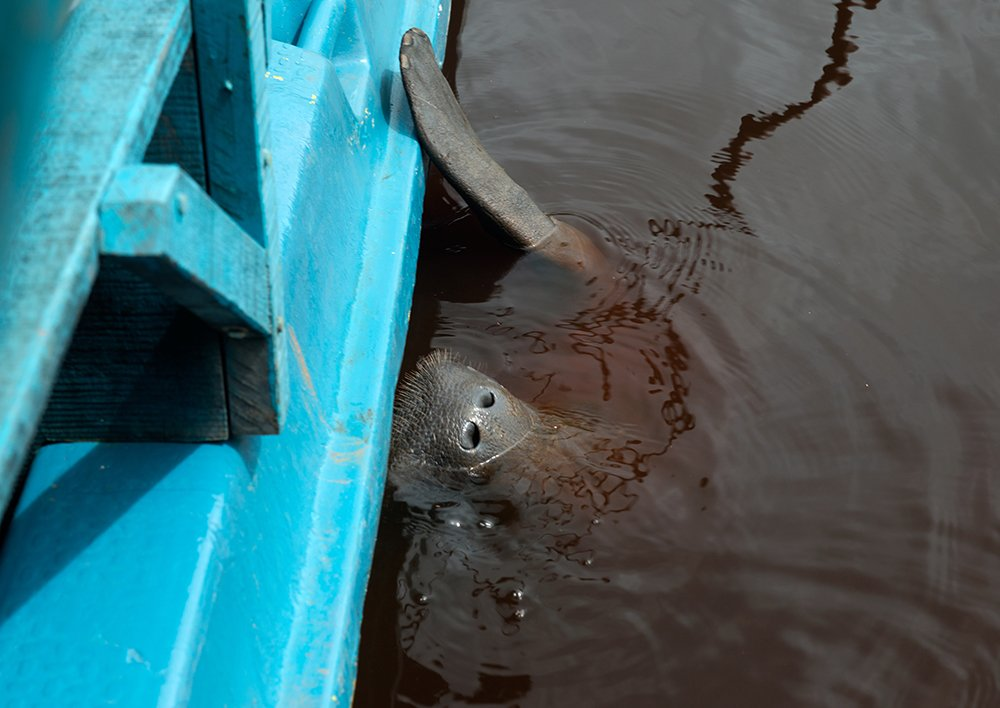 APA Costa dos Corais, imagem de peixe boi