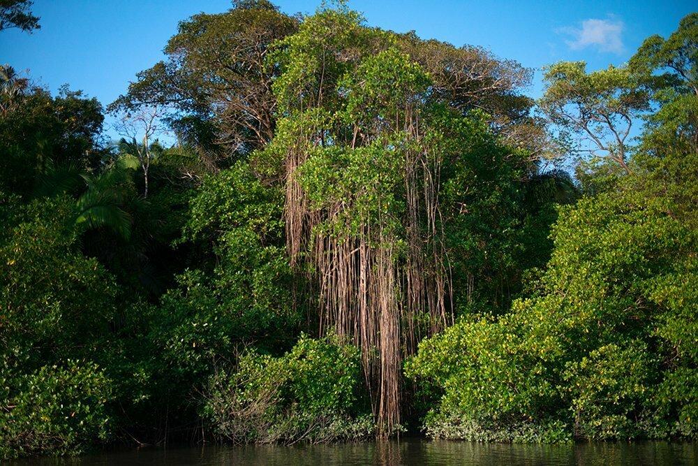 Resex Maracanã e Resex Chocoaré Mato Grosso, imagem do manguezal paraense