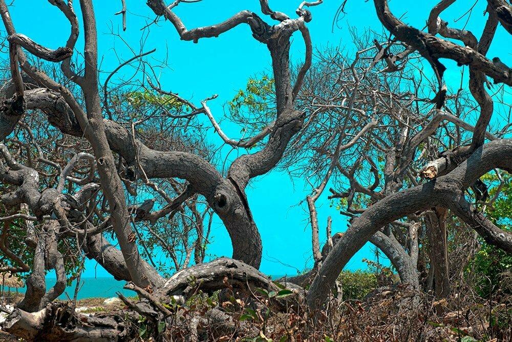 Resex Maracanã e Resex Chocoaré Mato Grosso, imagem de cajueiro seco
