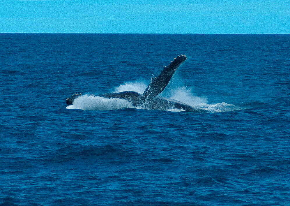 imagem de baleia jubarte no Parque Nacional dos Abrolhos