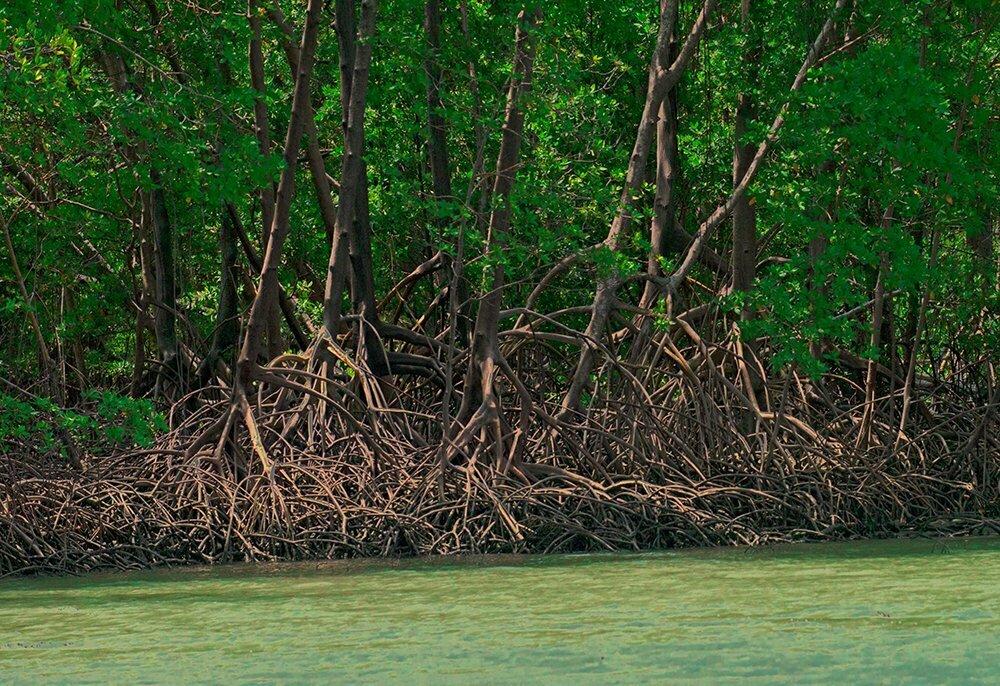 Resex de Cururupu, imagem de raízes de mangue