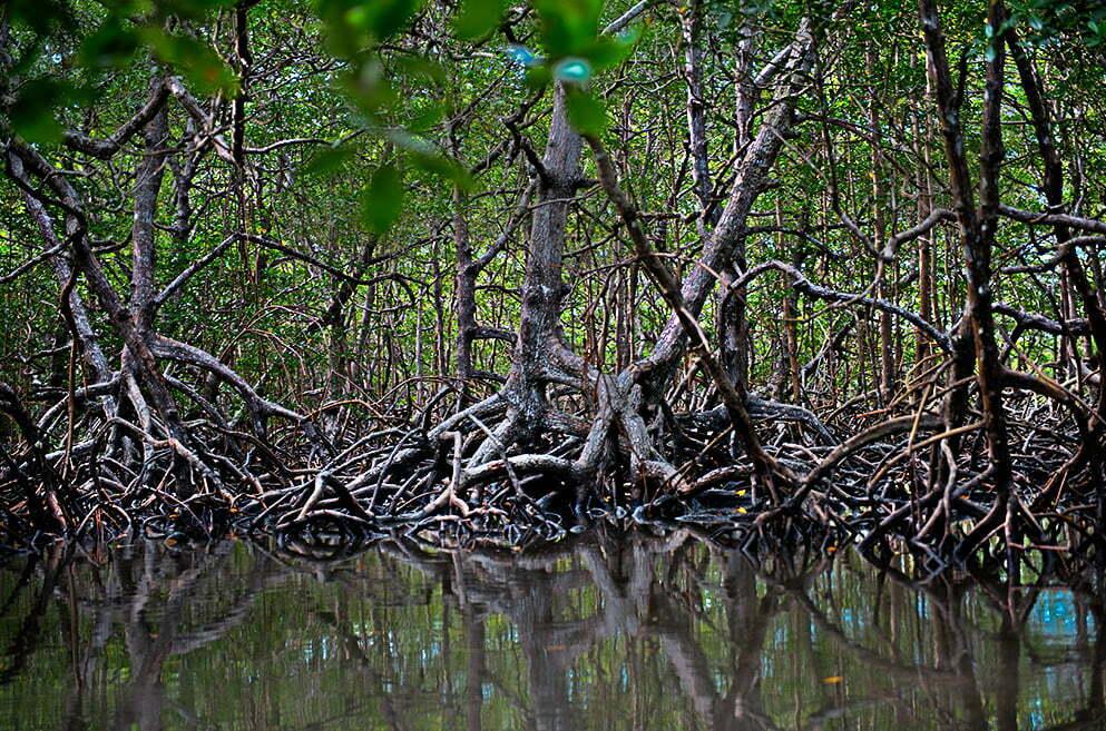 imagem de manguezal da Reserva Extrativista de Canavieiras