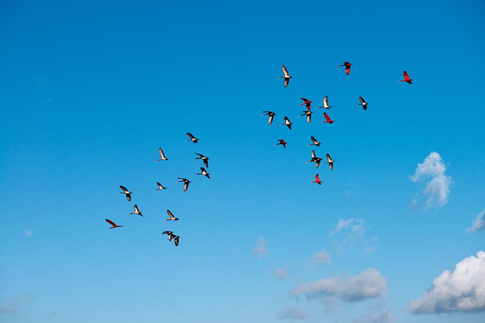 os-guaras-em-voo na Resex Marinha de Tracuateua