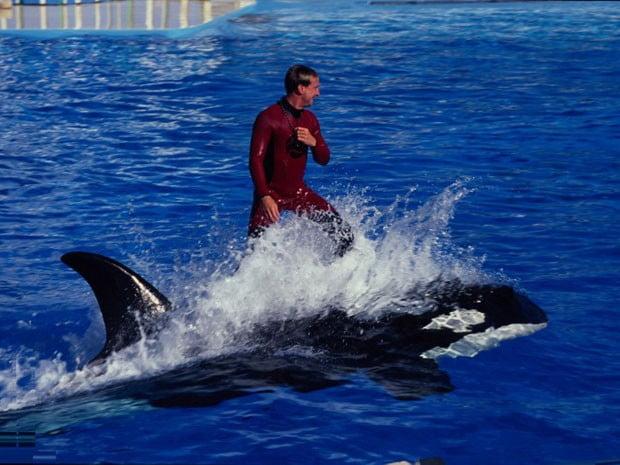 Sea World, imagem de homem andando numa orca no  Sea World