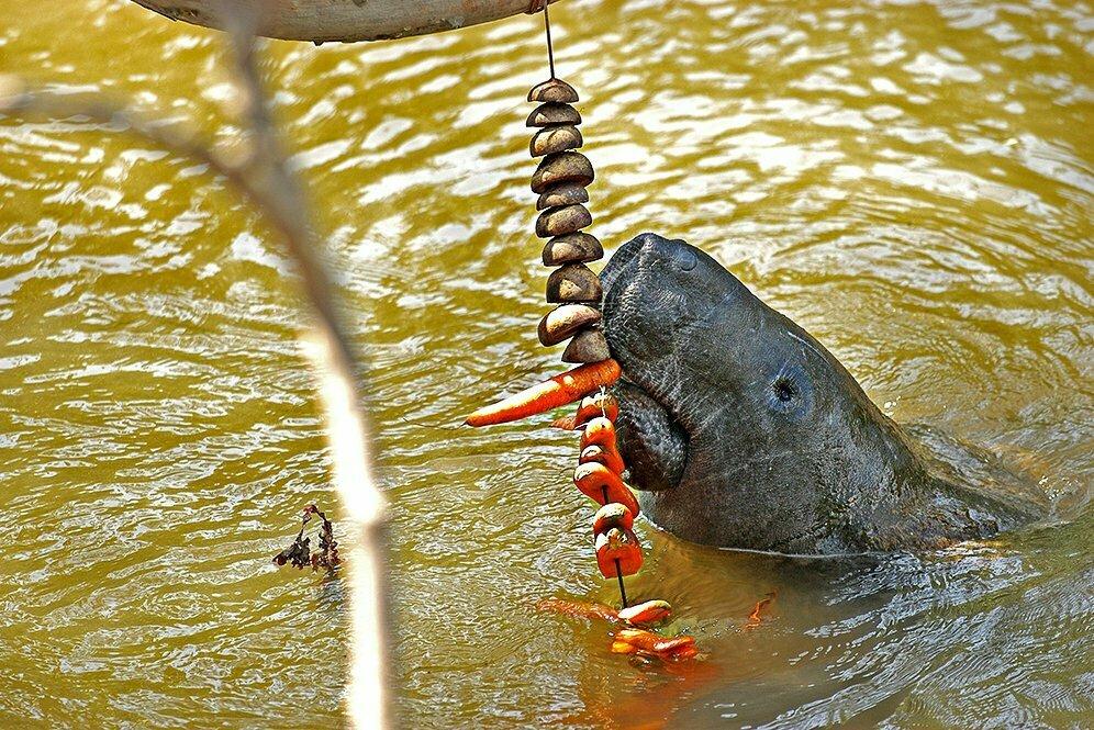 imagem de peixe- boi na Área de Proteção Ambiental da Barra do Rio Mamanguape
