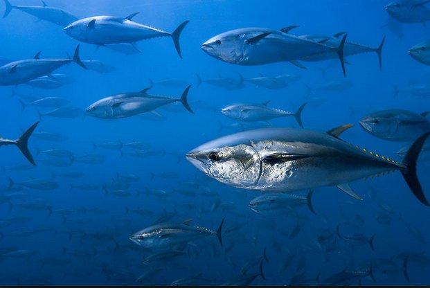 Pesca de atum no mundo, imagem de cardume de atuns