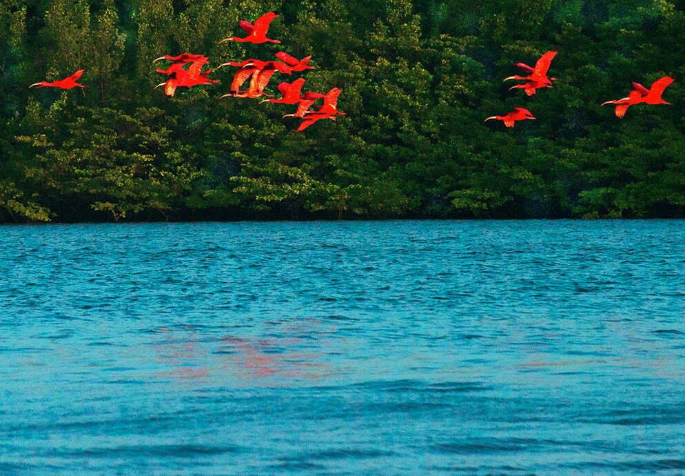 imagem de guarás na Reserva Extrativista Delta do Parnaíba