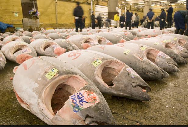 Pesca de atum no mundo, imagem do mercado de peixes de tokio