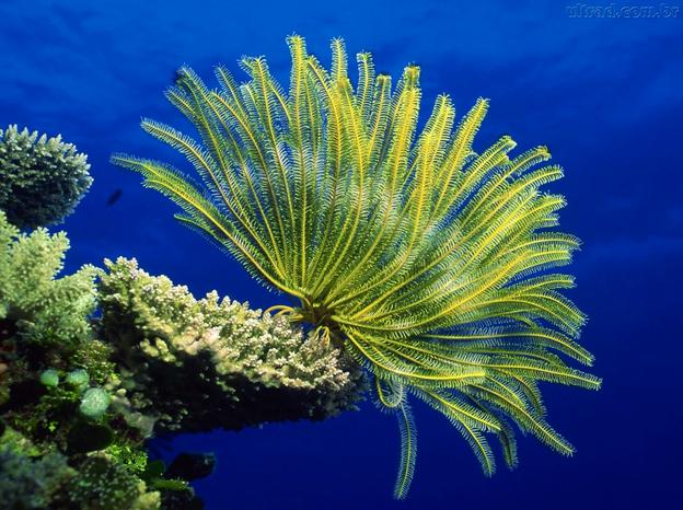 corais ameaçados, foto de um coral amarelo