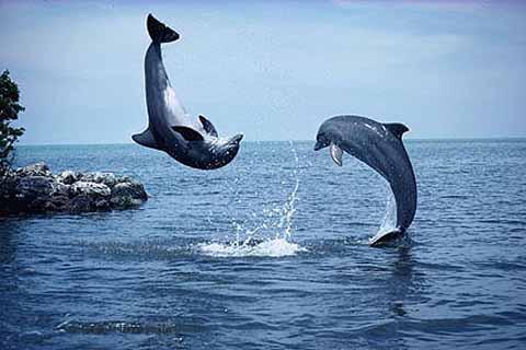 Golfinhos, bonitinhos mas ordinários, imagem de golfinhos saltando
