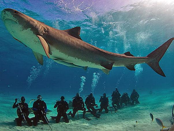 Santuário para tubarões, imagem de mergulhadores observando tubarões