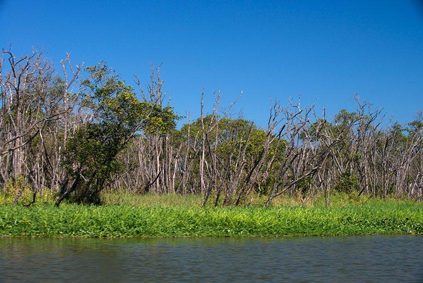 Canal do Valo Grande, algoz do Lagamar, imagem de manguezal morto em iguape