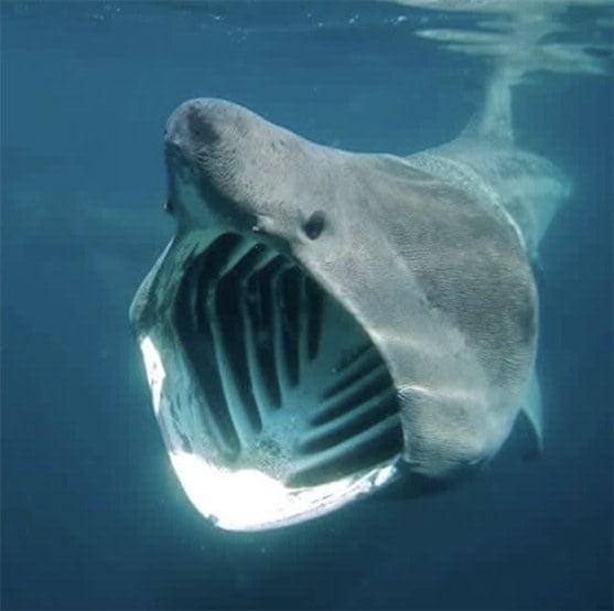 imagem de tubarão-elefante