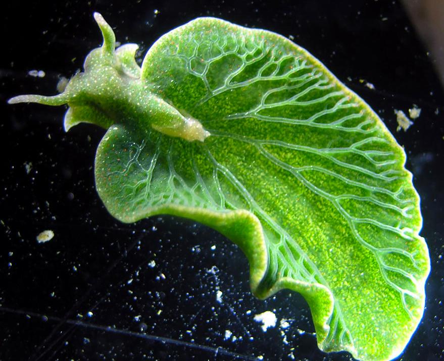 Lesma-do-mar e remédios, imagem da lesma do mar