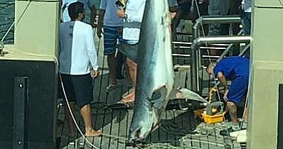 Matança de tubarões, imagem de tubarao-mako pescado em campeonato baiano