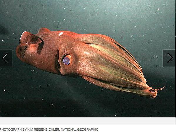 Criaturas marinhas bizarras, imagem de polvo vampiro