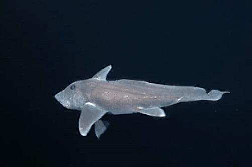 Tubarão- fantasma, imagem de um tubarão- fantasma nadando