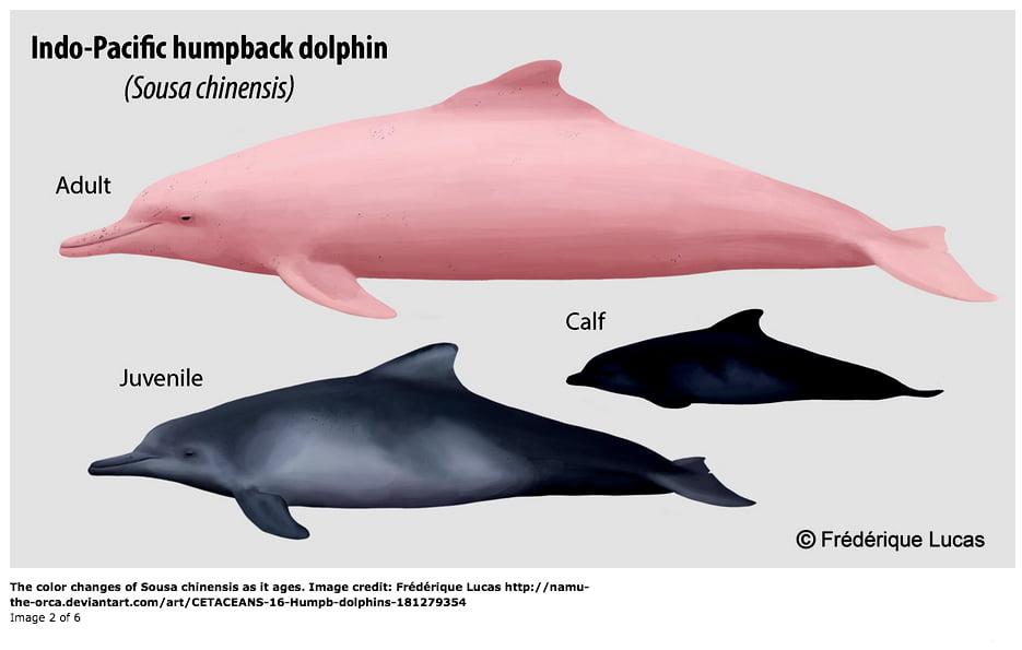 ilustracao-do-golfinho-cor-de-rosa