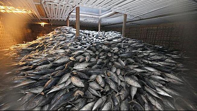 O alto- mar, imagem do porão de um navio cheio de peixes