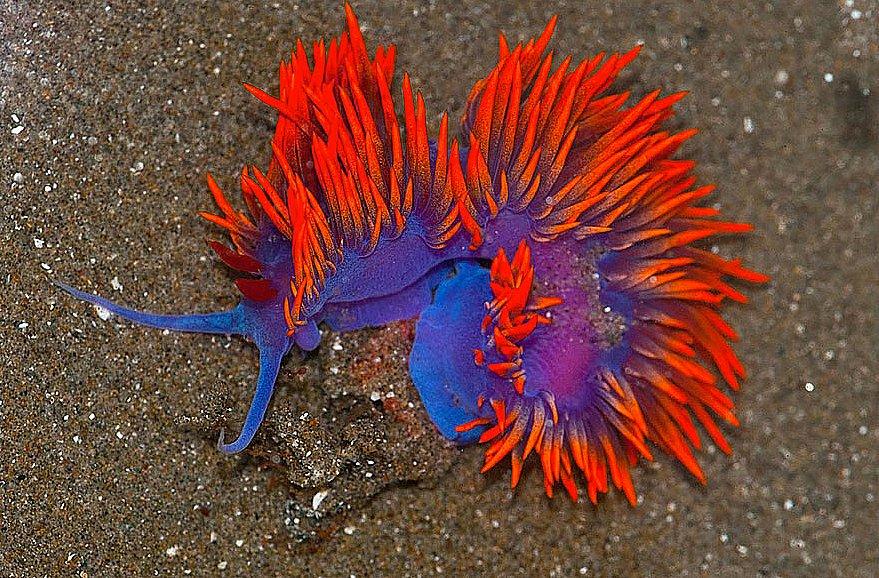 imagem de Lesmas do  mar