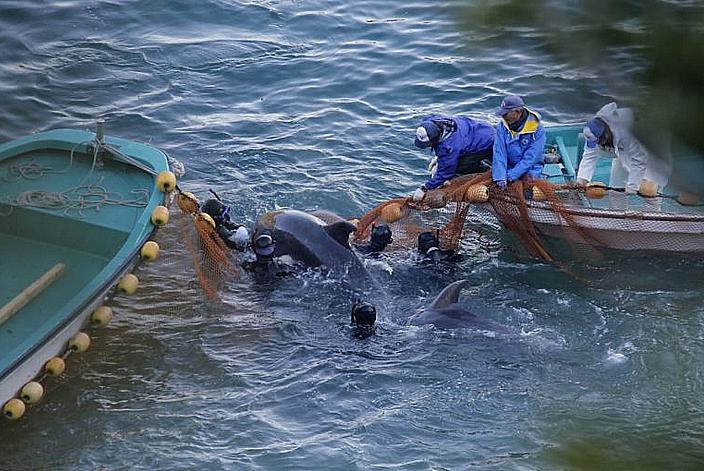 Golfinhos em cativeiro, imagem de golfinho sendo capturado em taiji